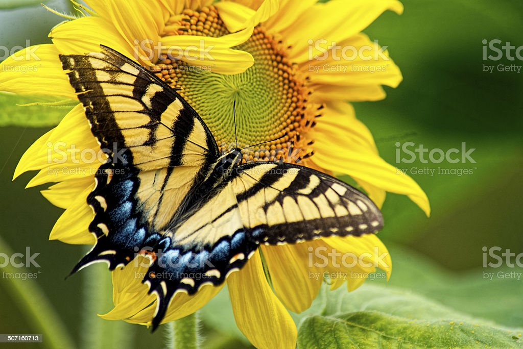 Eastern Tailed Swallowtail Butterfly feeding on a sunflower. stock photo