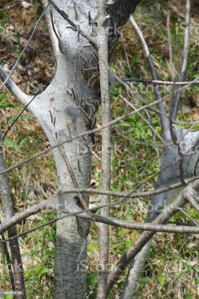Eastern Tent Caterpillar (Malacosoma americanum) stock photo
