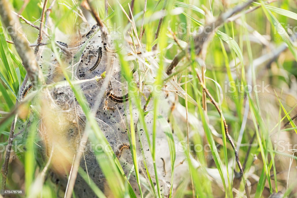 Eastern Tent Caterpillars with Cocoon stock photo