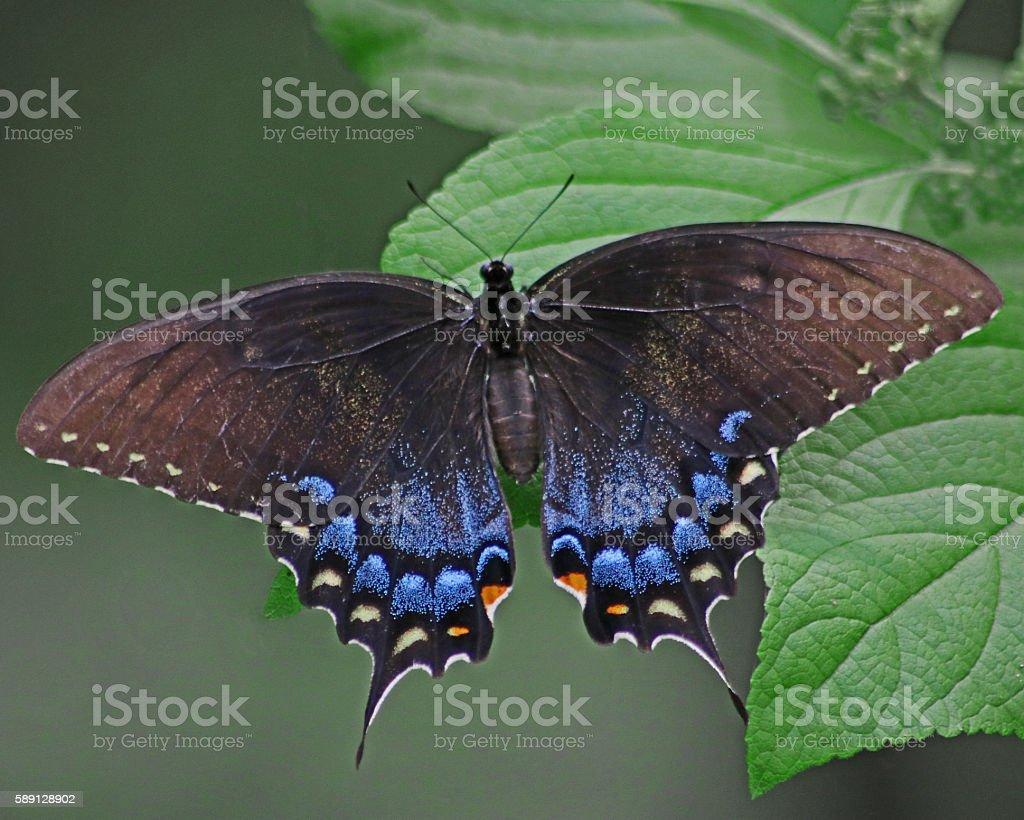 Eastern Tiger black Swallowtail butterfly photo libre de droits