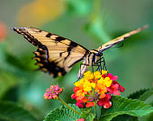 Eastern Tiger Swallowtail Butterfly on a Lantana