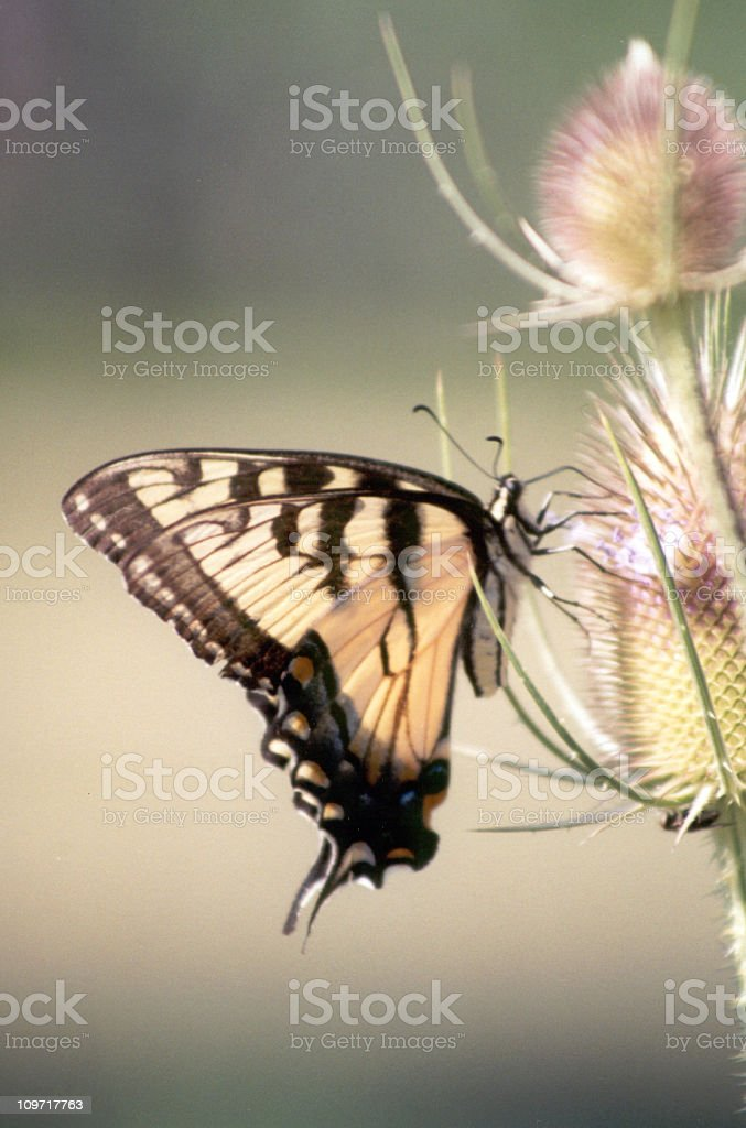 Eastern Tiger Swallowtail Butterfly stock photo