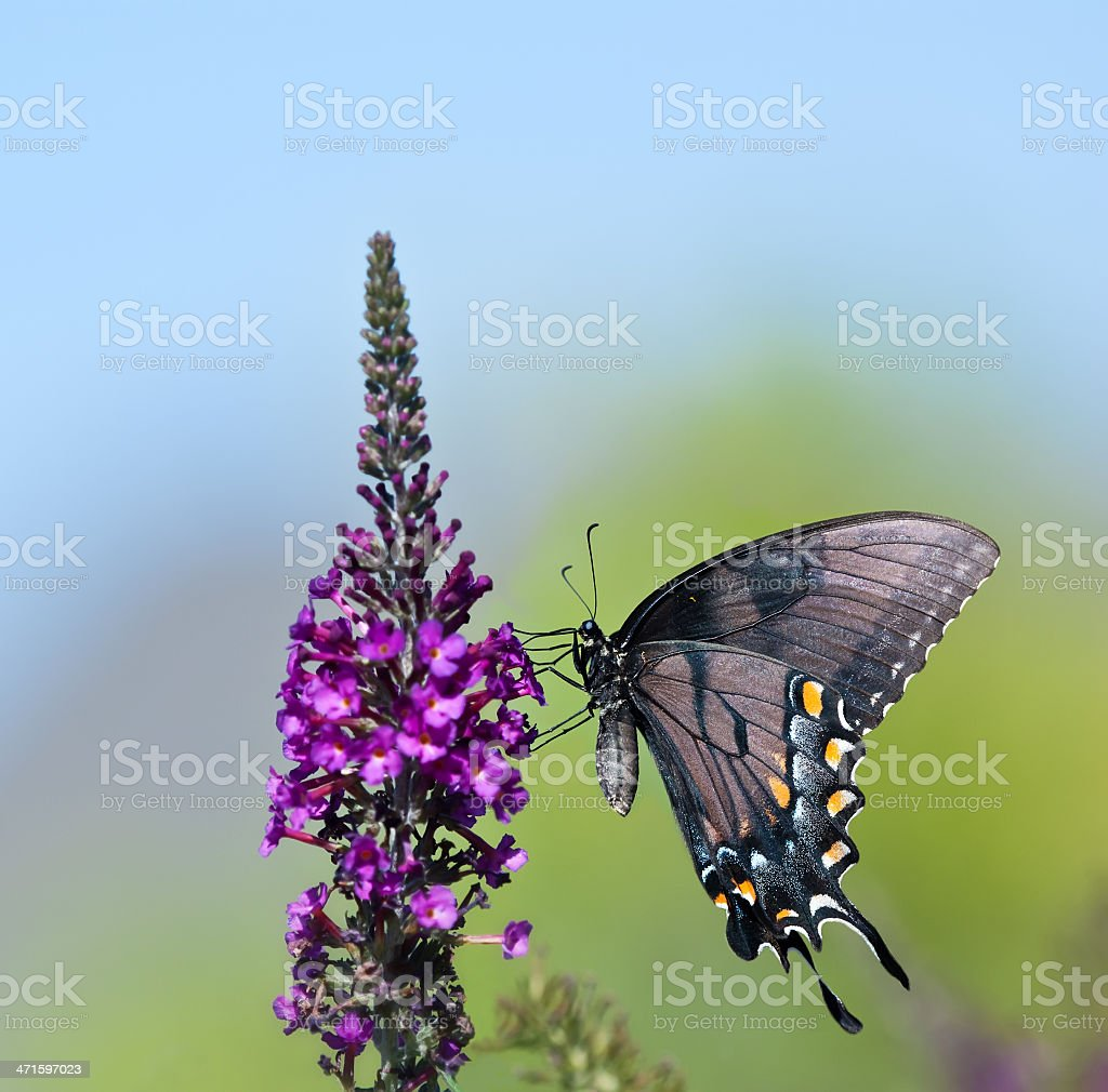 Eastern Tiger Swallowtail butterfly (Papilio glaucus) royalty-free stock photo
