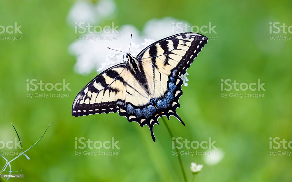 Eastern Tiger Swallowtail, White Flower, Muted Green Background stock photo
