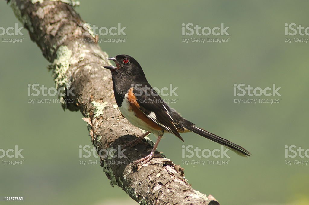 Eastern Towhee royalty-free stock photo