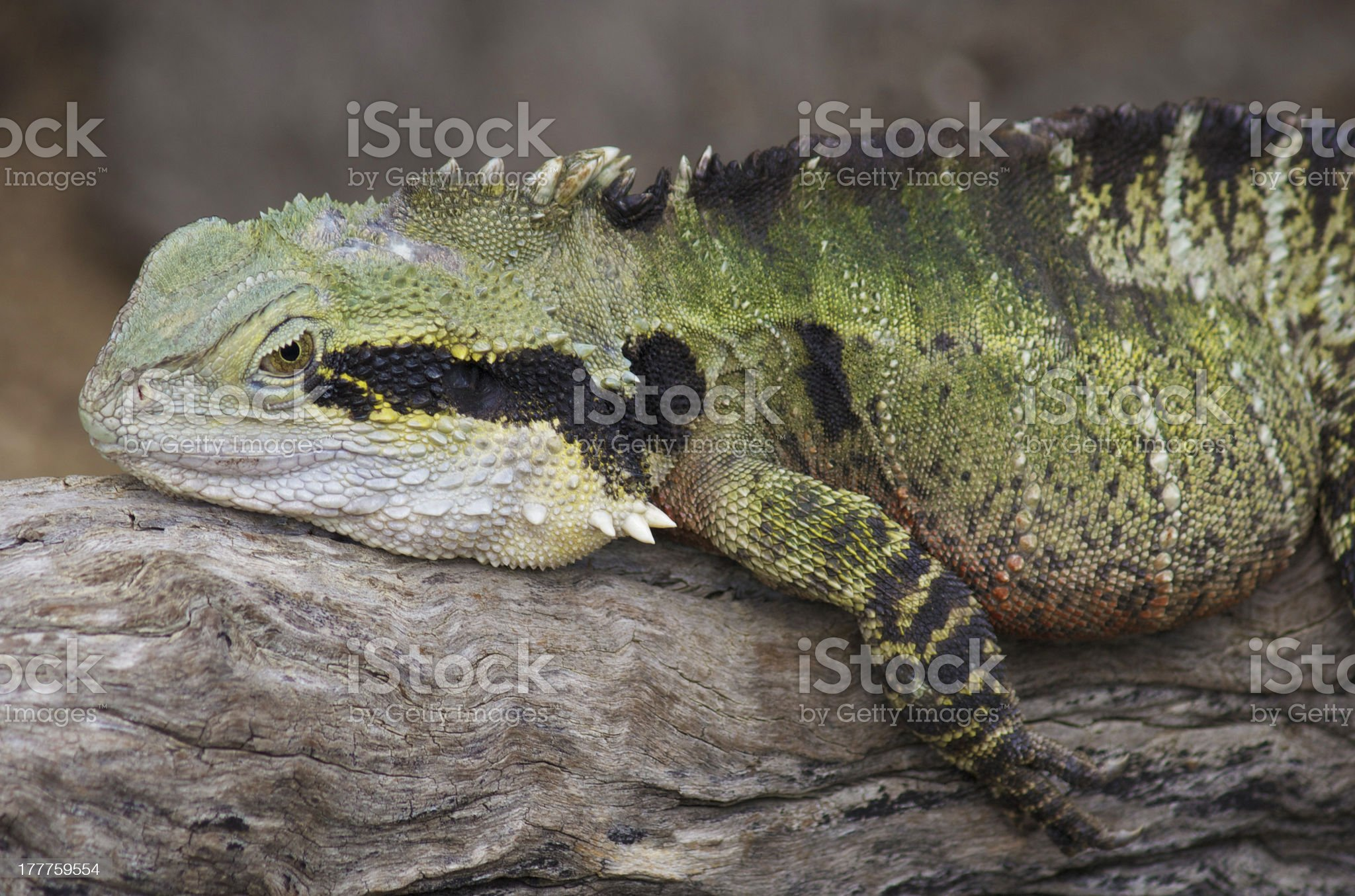 Eastern Water Dragon royalty-free stock photo
