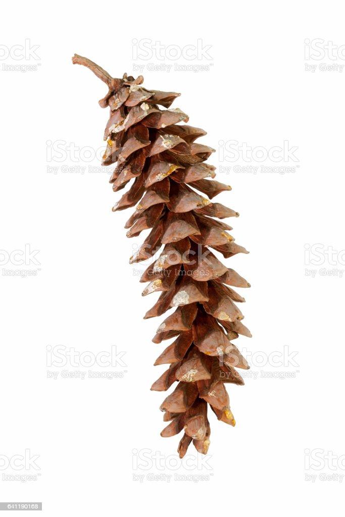 Eastern white pine cone stock photo