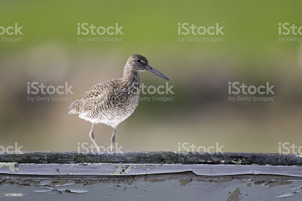 Eastern Willet on boat stock photo