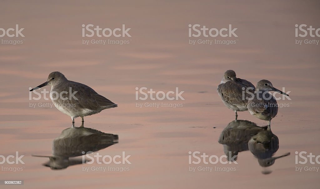Eastern  Willets stock photo