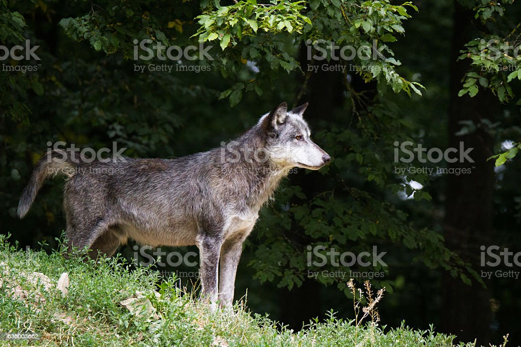 Eastern wolf stock photo