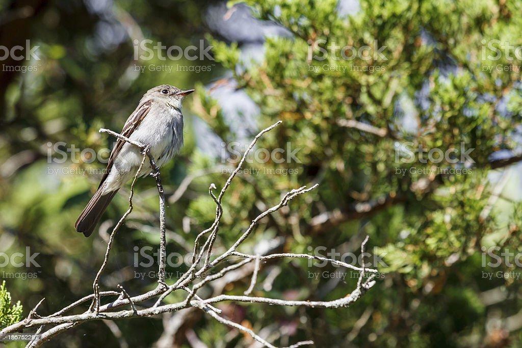 Eastern Wood Peewee (Contopus virens) stock photo