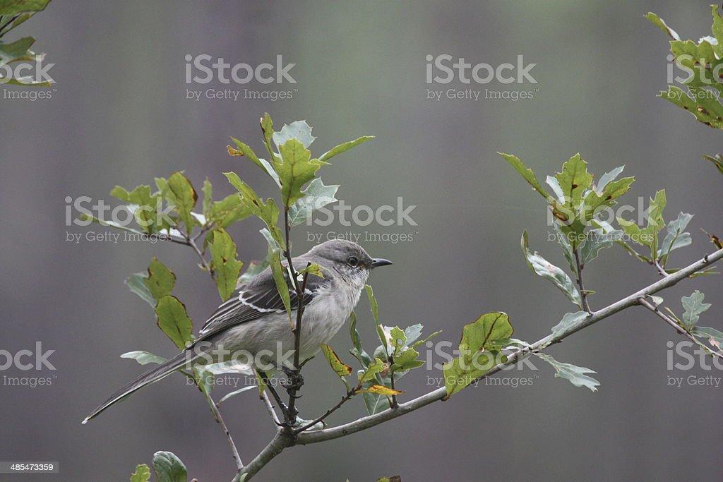 Eastern Wood Peewee stock photo