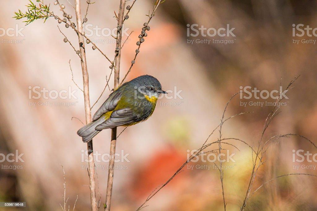 Eastern Yellow Robin stock photo