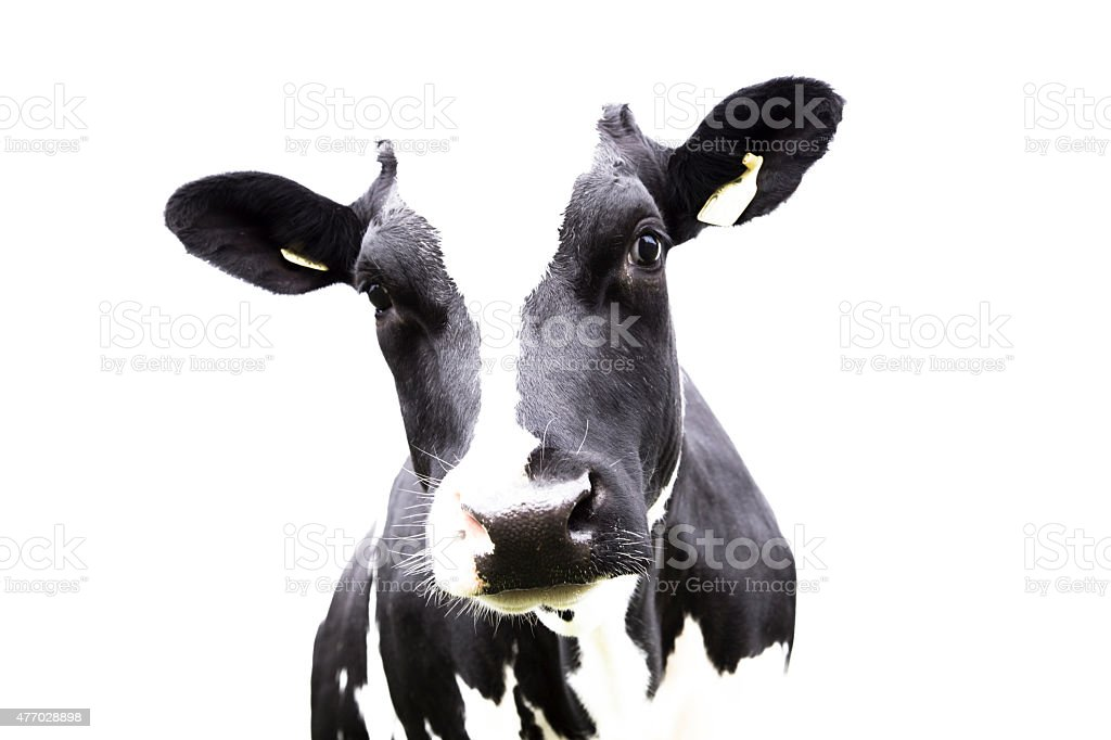 Easy to use, cow portrait stock photo