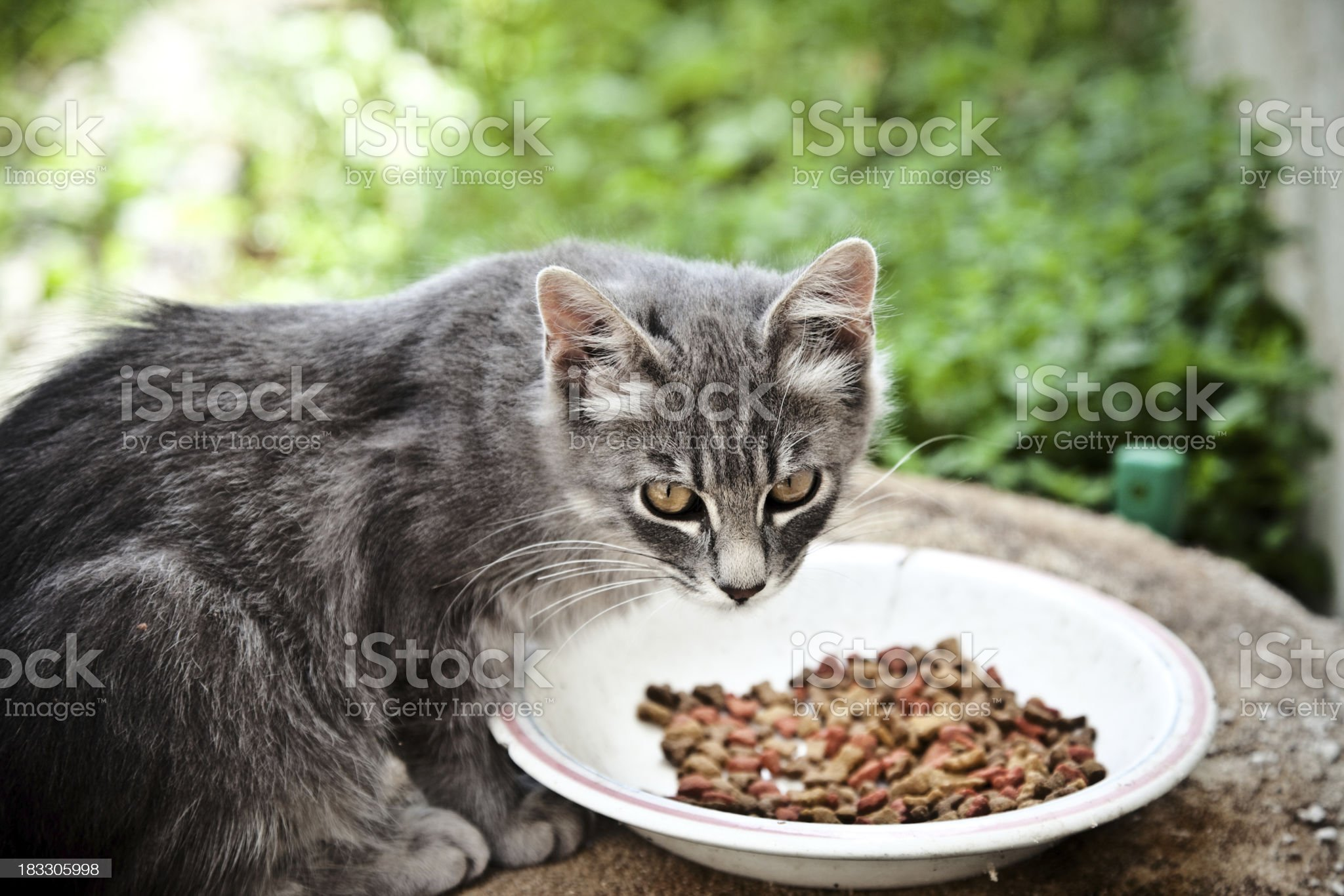 Eating Alley Cat royalty-free stock photo