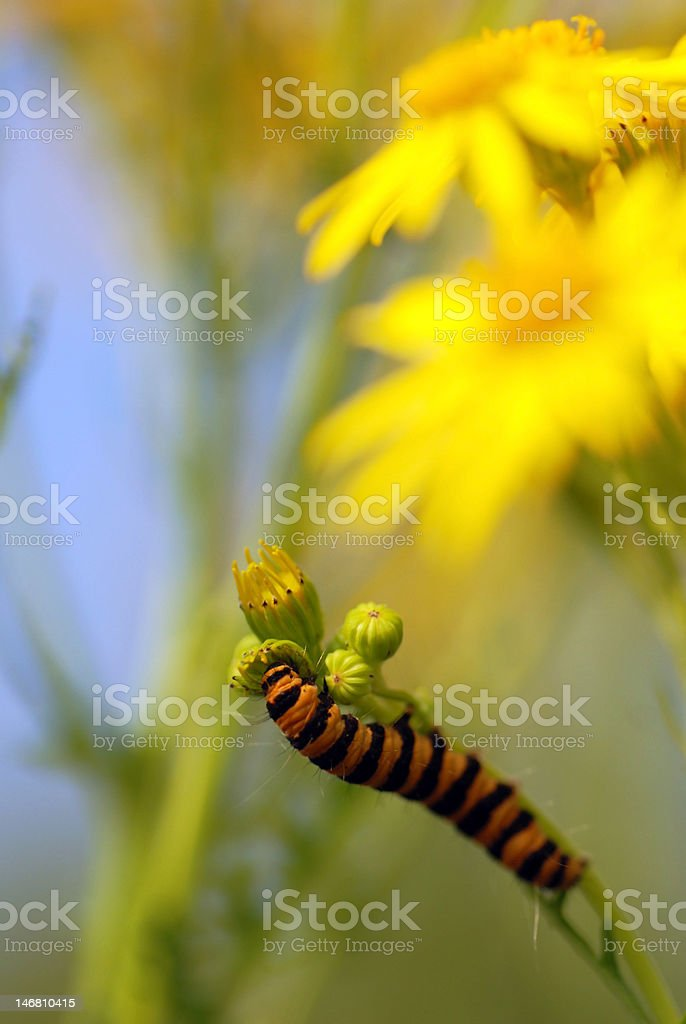 Eating Caterpillar stock photo