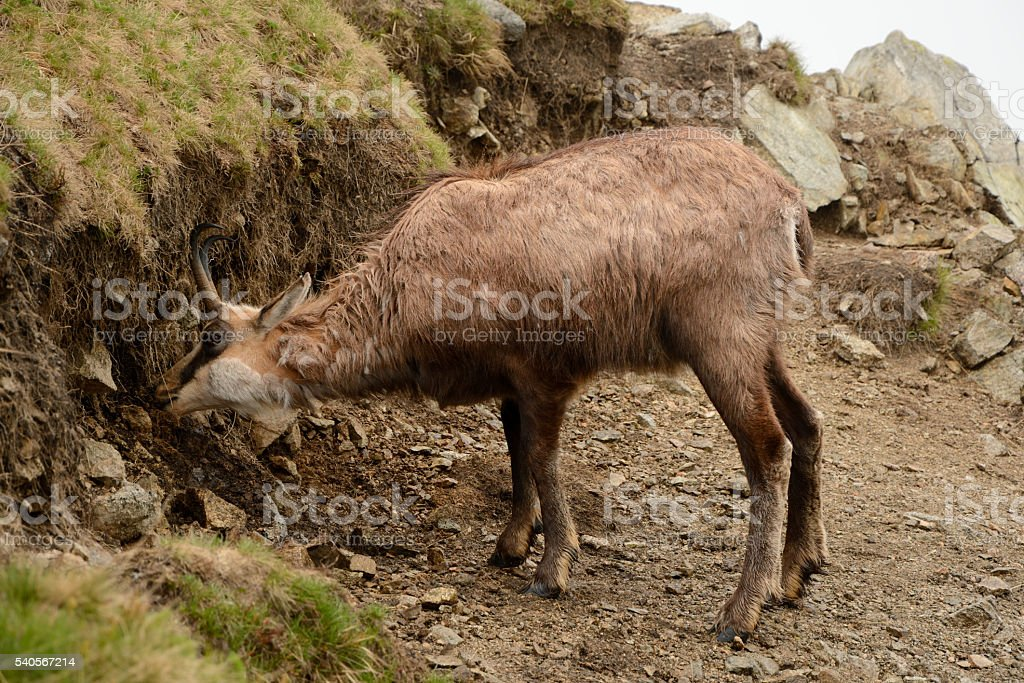 Eating chamois in fog in Tatra mountains stock photo