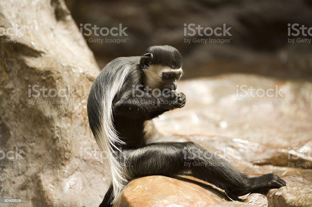 eating colobus monkey royalty-free stock photo