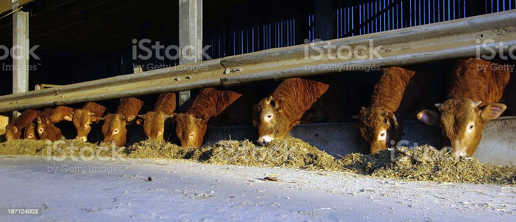 Eating cows in the morning sun royalty-free stock photo