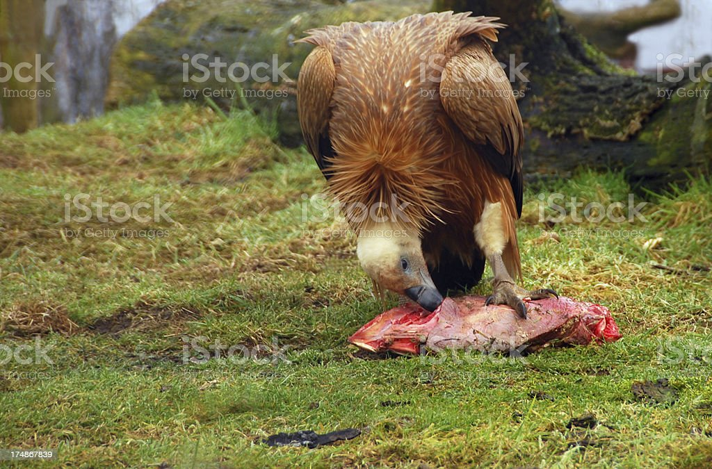 Eating Griffon Vulture royalty-free stock photo