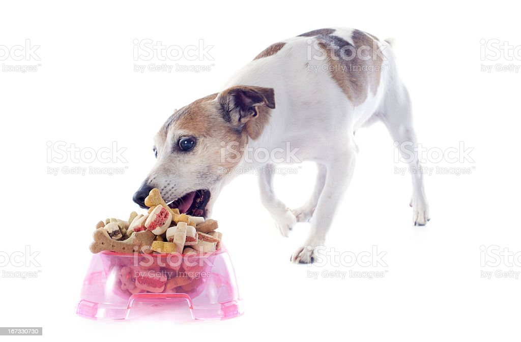 eating jack russel terrier royalty-free stock photo