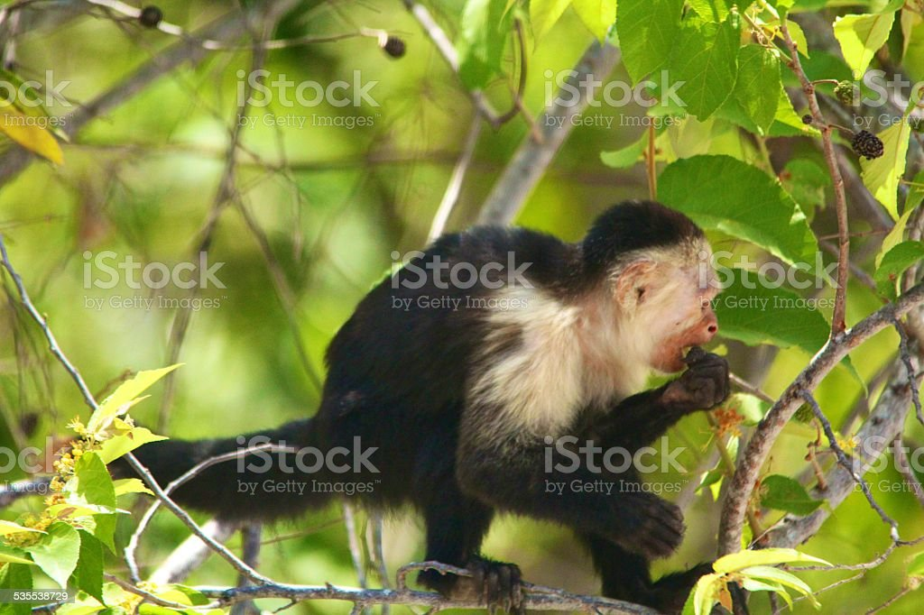 eating monkey stock photo