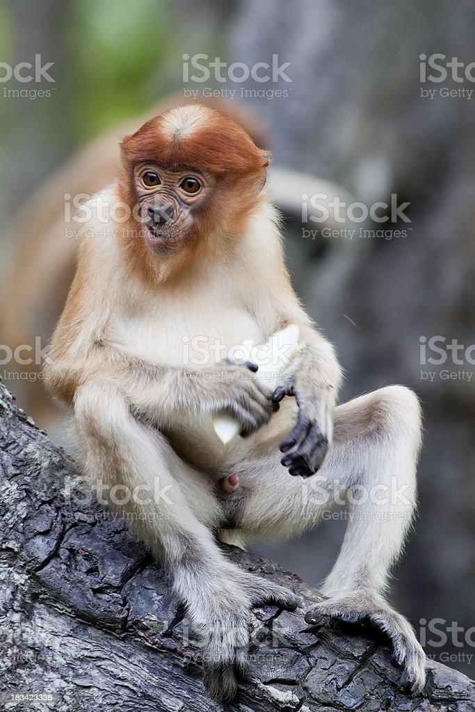 Eating proboscis monkey stock photo