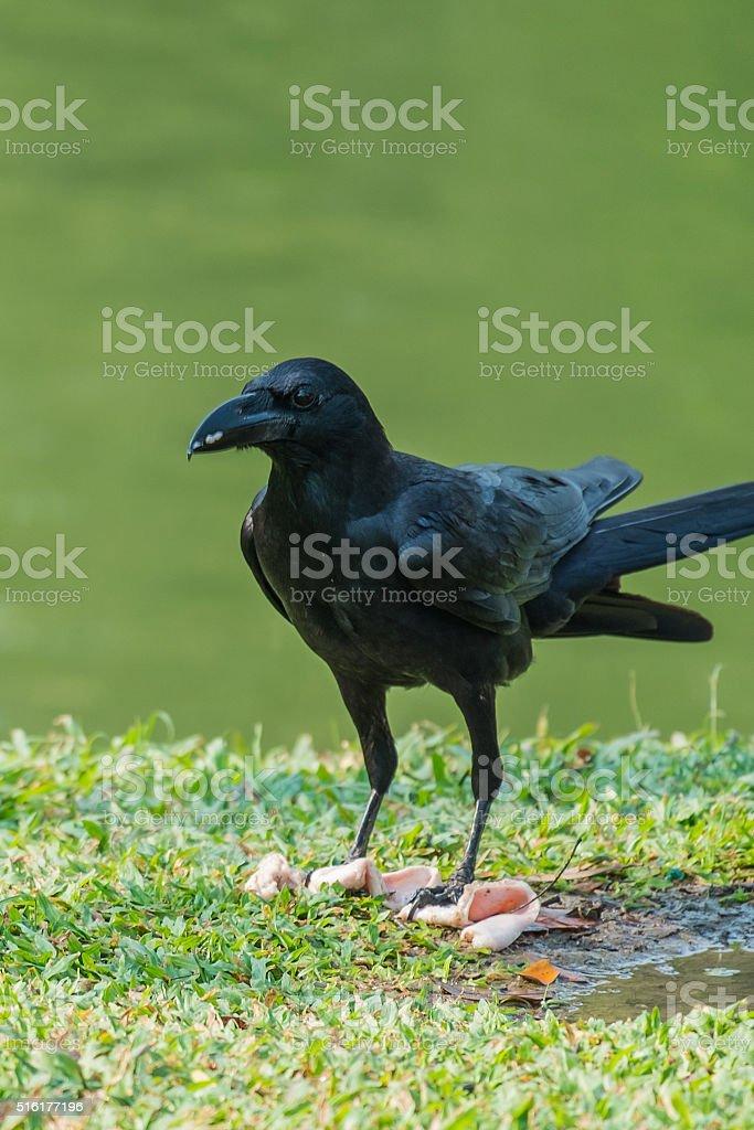 Eating Raven stock photo