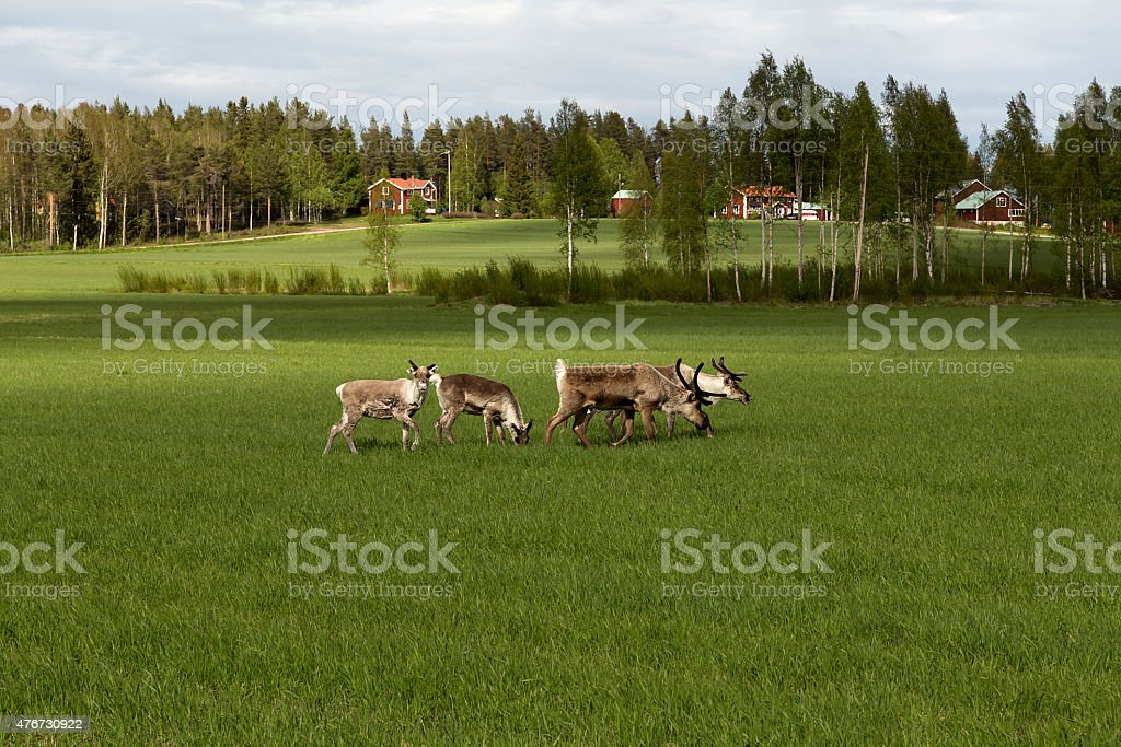 Eating reindeers on a field royalty-free stock photo