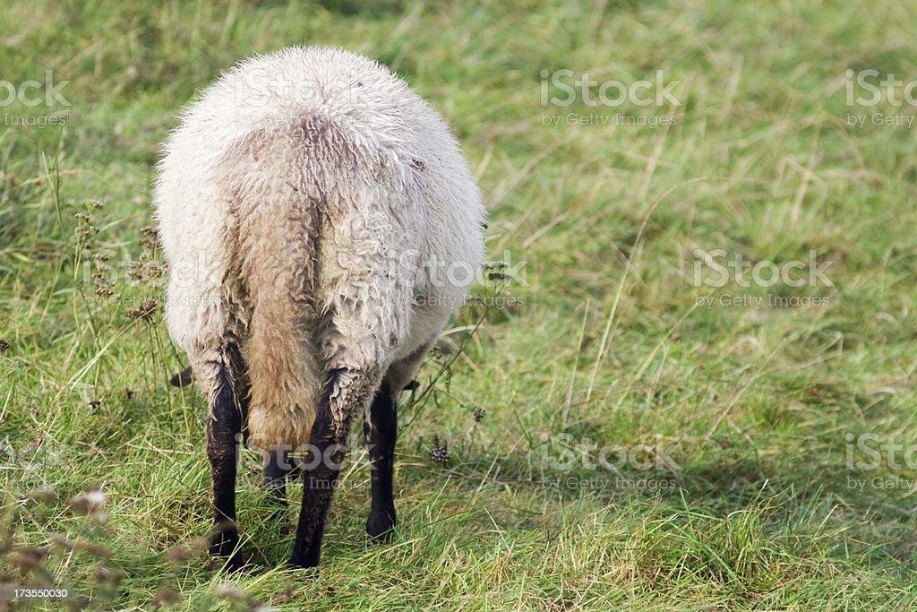 Eating sheep stock photo