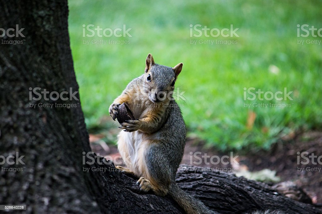 Eating squirrel interrupted, curiously staring at me. stock photo