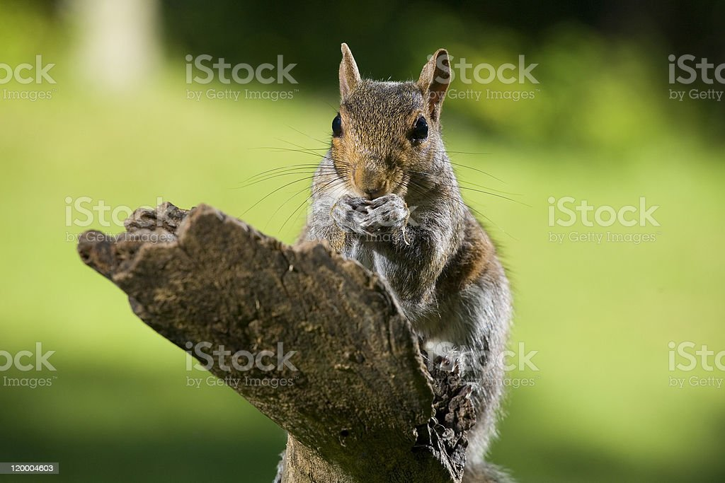 Eating squirrel stock photo