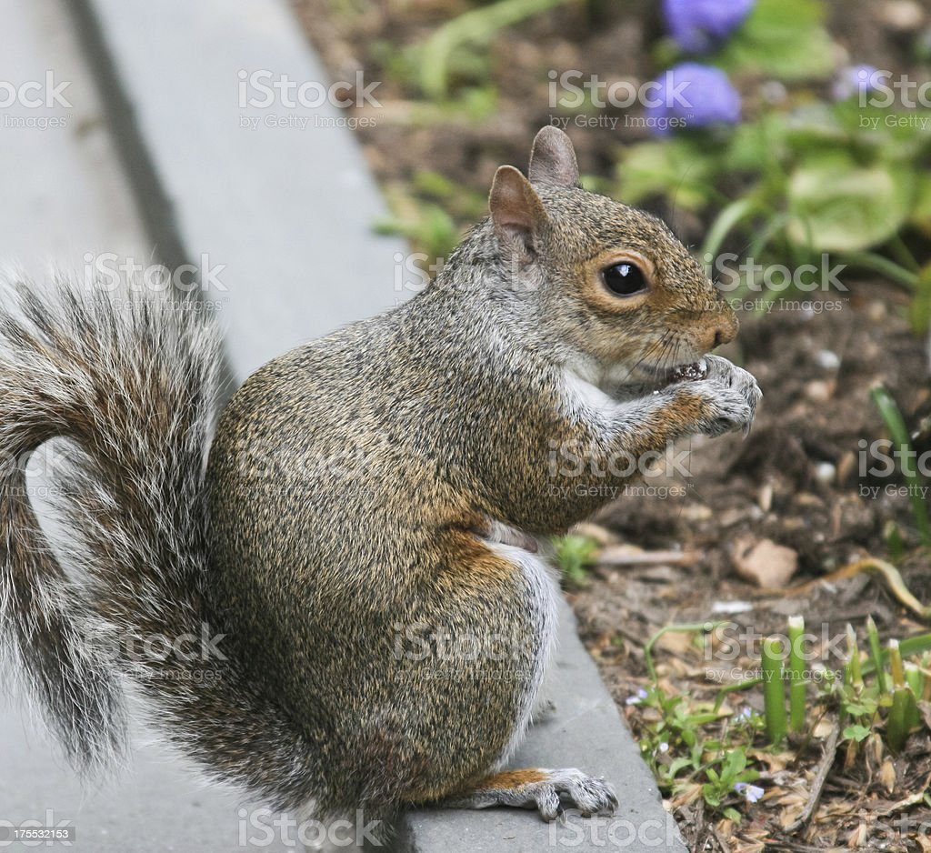Eating Squirrel royalty-free stock photo