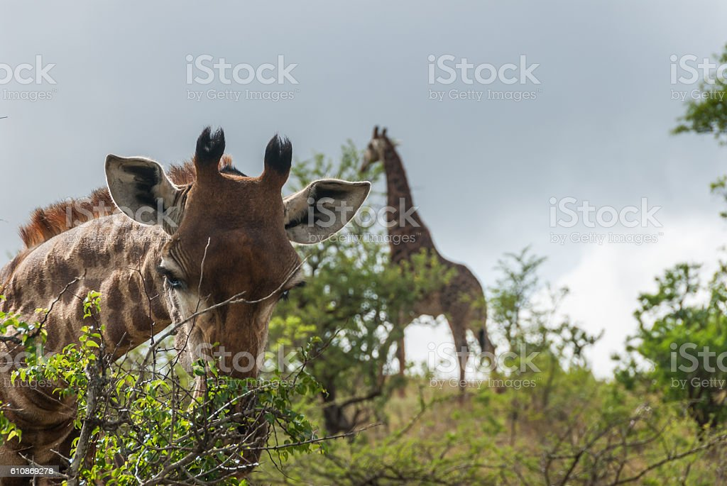 Eating the green leaves of Tembe Elephant Park stock photo