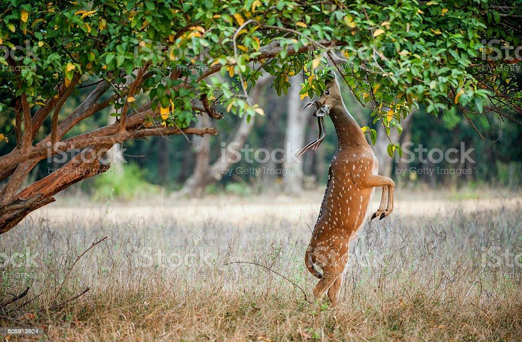 Eating wild  male cheetal deer stock photo