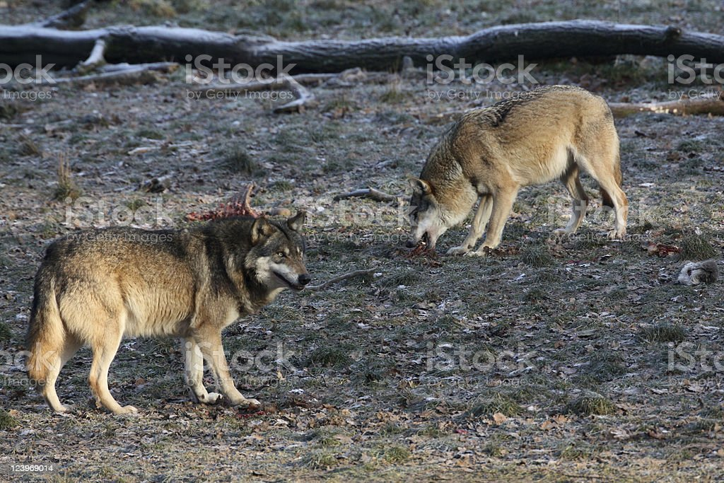 Eating wolves stock photo