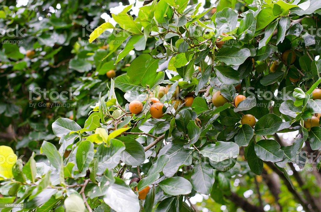 Ebony fruit growing on tree stock photo