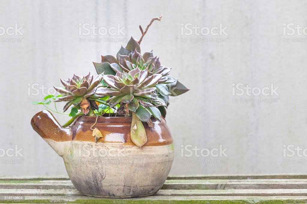 Echeveria black prince in pot stock photo