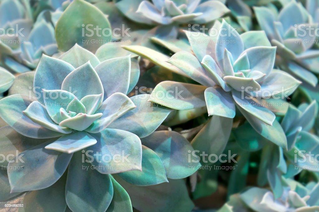 Echeveria plant stock photo
