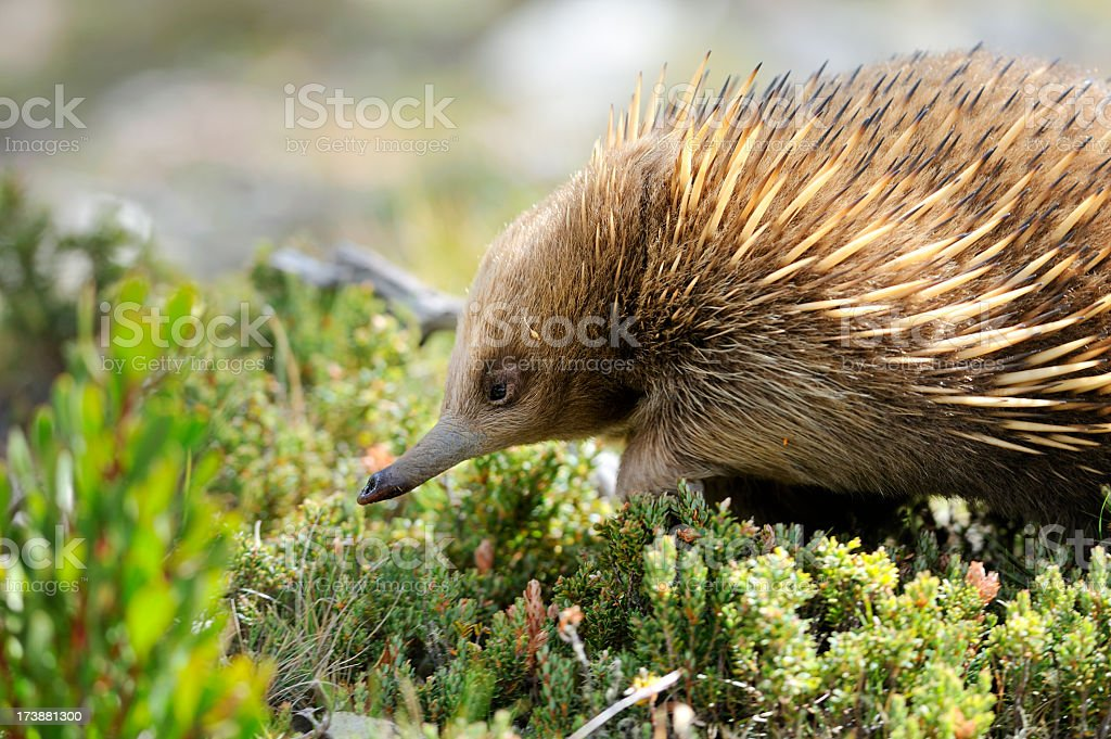 Echidna animal in a field of weeds stock photo