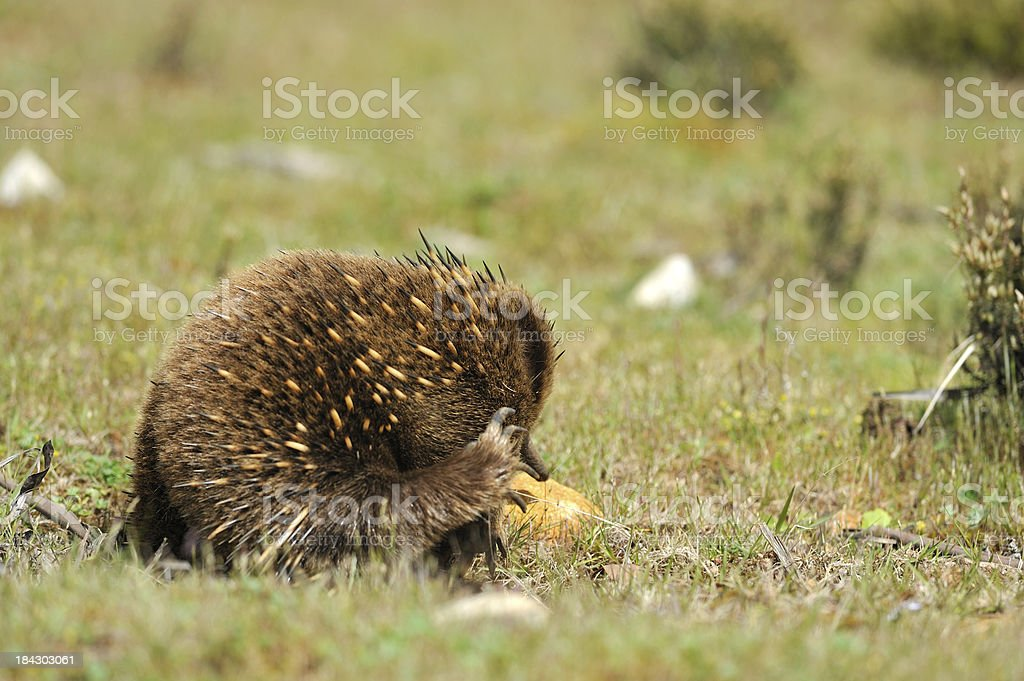 Echidna in a forest, Tasmania royalty-free stock photo