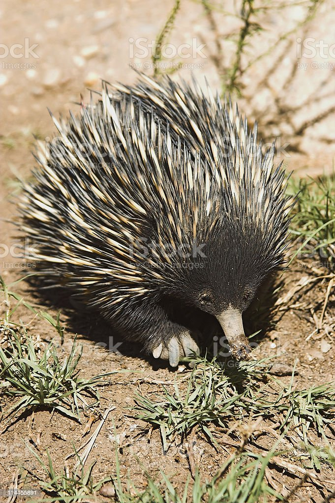 echidna royalty-free stock photo