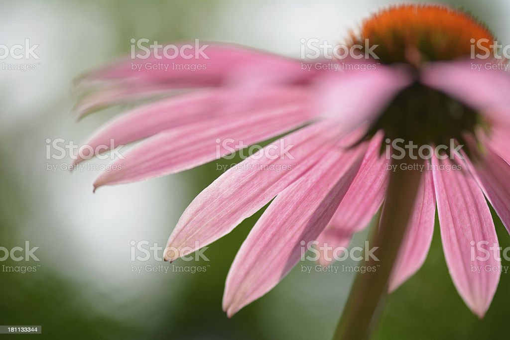 Echinacea Abstract royalty-free stock photo