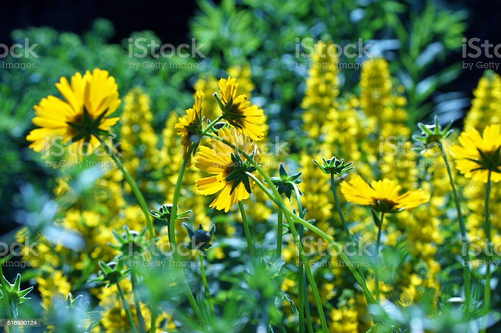 Echinacea and dotted loosestrife stock photo