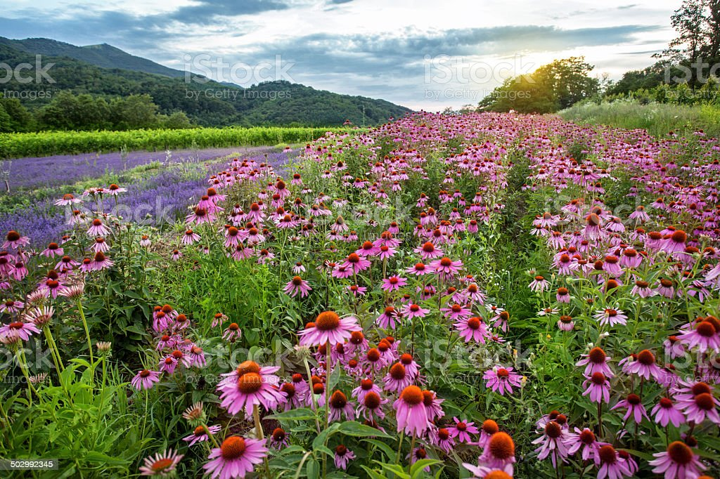 Echinacea and lavender field stock photo