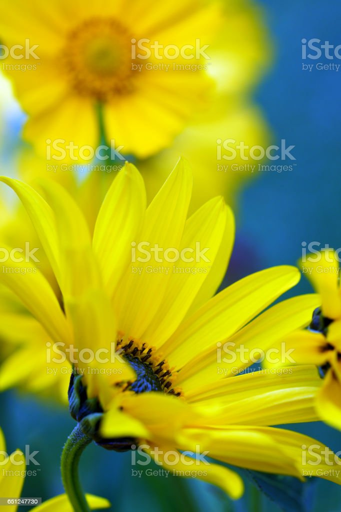 Echinacea and tickseed stock photo