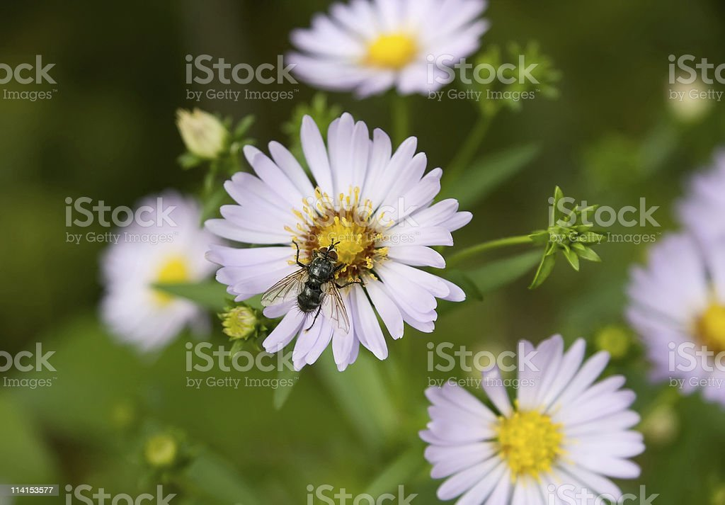 Echinacea (coneflower) anf fly royalty-free stock photo