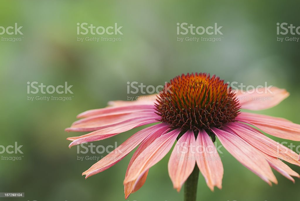 Echinacea at twilight royalty-free stock photo