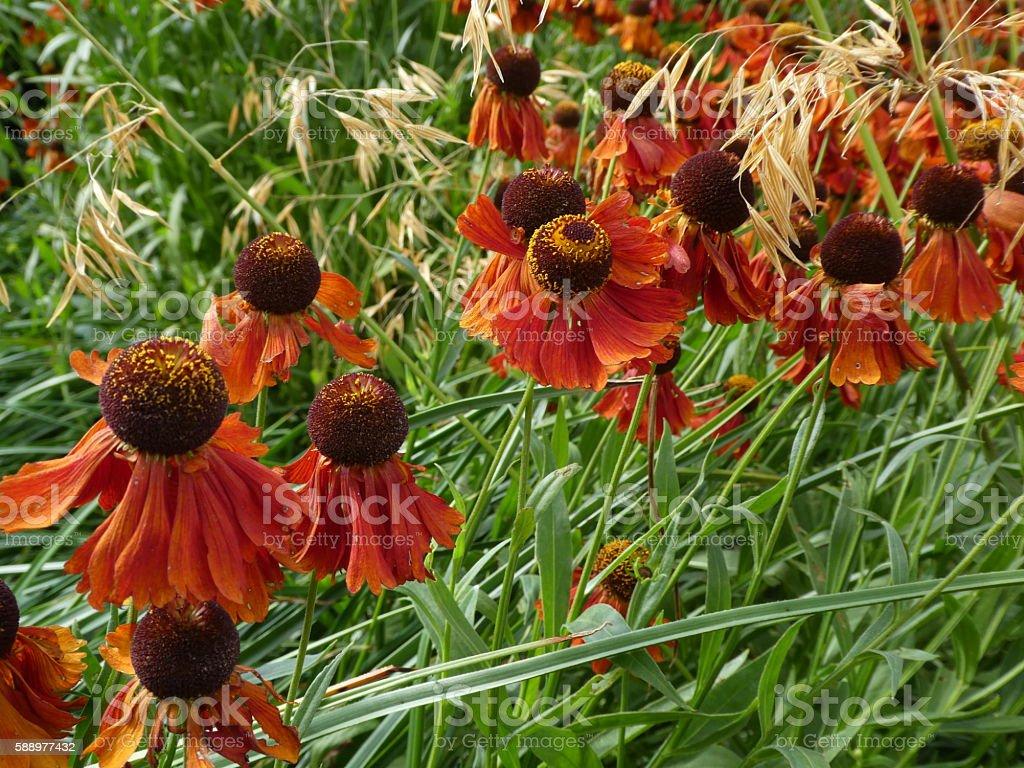 Echinacea Coneflower deep orange stock photo