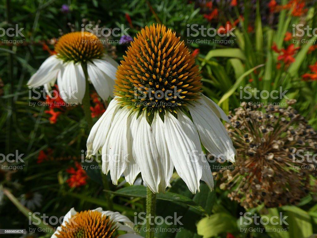 Echinacea Coneflower White stock photo